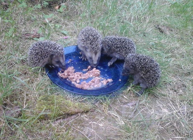 Igelbabies erste Fütterung